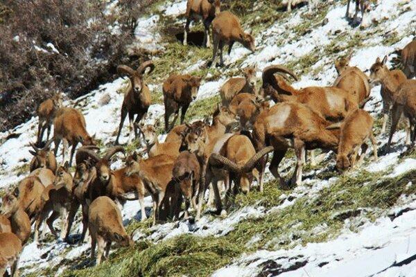 سرما پای حیات وحش را به روستاهای کوهستانی باز می کند